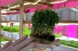 Microgreens: giovani e teneri ortaggi